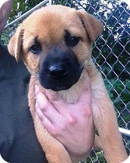 German Shepherd Dog/Golden Retriever Mix Puppy for adoption in Starkville, Mississippi - Kara
