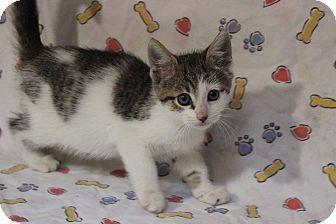 American Shorthair Kitten for adoption in Flat Rock, Michigan - Carl