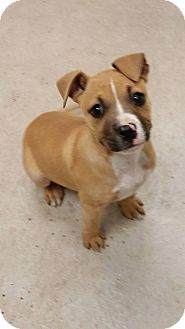 Pit Bull Terrier Mix Puppy for adoption in Humble, Texas - Tipsy