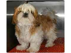 "Shih Tzu Puppy for adoption in Provo, Utah - "" RUFUS QUE QUIGLEY"""