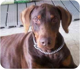 Doberman Pinscher Dog for adoption in Arlington, Virginia - Bo