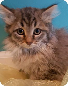 Maine Coon Kitten for adoption in Oakland, Michigan - Belle