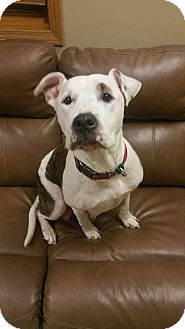 American Staffordshire Terrier Mix Dog for adoption in Lima, Ohio - Myah *PENDING*