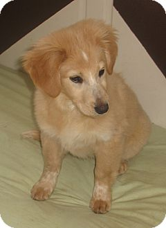 Golden Retriever Mix Puppy for adoption in Hainesville, Illinois - Willow