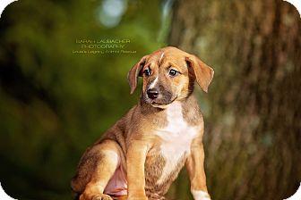 Australian Shepherd/Labrador Retriever Mix Puppy for adoption in Cincinnati, Ohio - Layla