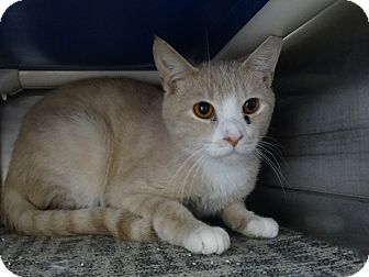 Domestic Shorthair Cat for adoption in Elyria, Ohio - Fumbles