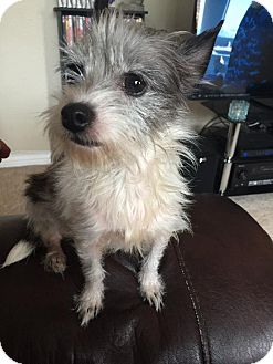 Terrier (Unknown Type, Small) Mix Dog for adoption in Plano, Texas - Snuggles
