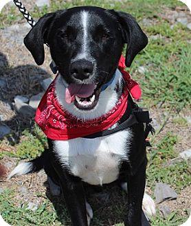 Border Collie Mix Dog for adoption in Owasso, Oklahoma - Hank