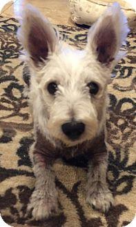 Westie, West Highland White Terrier Dog for adoption in Frisco, Texas - ZUZU HAS BEEN ADOPTED