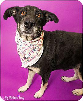 German Shepherd Dog/Shepherd (Unknown Type) Mix Dog for adoption in Phoenix, Arizona - Abby