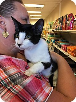 Domestic Shorthair Cat for adoption in Athens, Georgia - Oreo