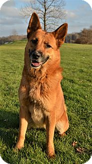 German Shepherd Dog Mix Dog for adoption in Michigan City, Indiana - Ginny