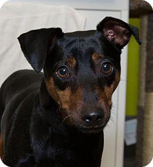 Miniature Pinscher Dog for adoption in Redmond, Washington - John Mayer