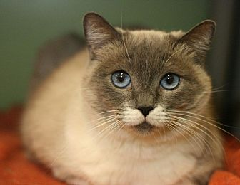 Siamese Cat for adoption in Canoga Park, California - Channel