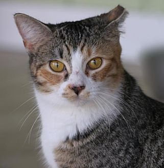 Domestic Shorthair Cat for adoption in North Fort Myers, Florida - Autumn