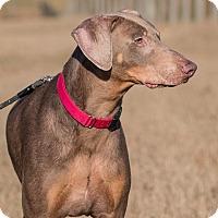 Adopt A Pet :: Felix - Dacula, GA