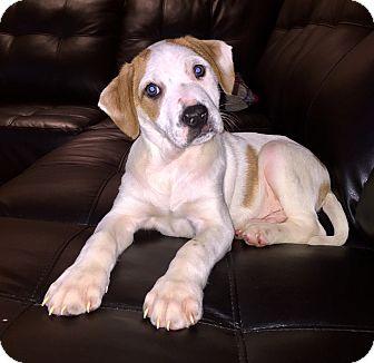 Husky Mix Puppy for adoption in Hainesville, Illinois - Samsung