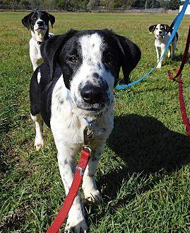Border Collie/Springer Spaniel Mix Dog for adoption in St. Francisville, Louisiana - Benji