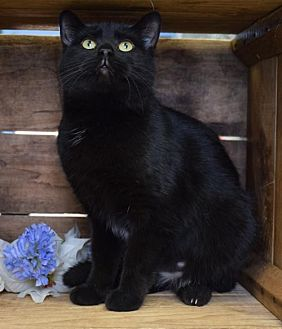 Domestic Shorthair Cat for adoption in Germantown, Maryland - Triss