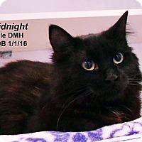 Adopt A Pet :: Midnight - Lincoln, NE