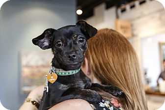 Dachshund/Chihuahua Mix Puppy for adoption in Memphis, Tennessee - Maple