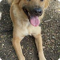 Adopt A Pet :: Adele - Olympia, WA