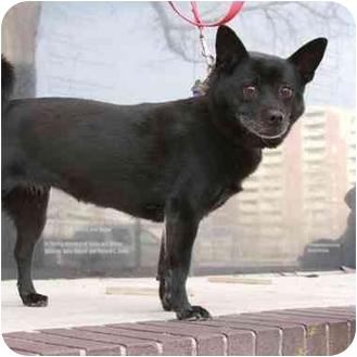 Chihuahua/Chow Chow Mix Dog for adoption in Denver, Colorado - Sheila