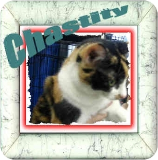 Domestic Shorthair Cat for adoption in Jacksonville, Florida - Chastity