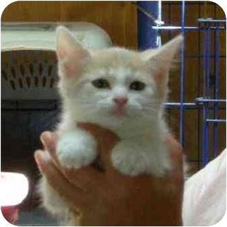 Domestic Mediumhair Kitten for adoption in Palmdale, California - Barney