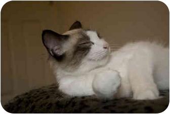 Ragdoll Cat for adoption in Alexandria, Virginia - Snowball