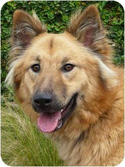 German Shepherd Dog/Golden Retriever Mix Dog for adoption in Los Angeles, California - Zoey von Zuckerman