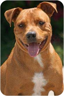 American Staffordshire Terrier/Pit Bull Terrier Mix Dog for adoption in Bellflower, California - Annabella