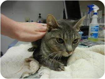 Domestic Shorthair Cat for adoption in Oklahoma City, Oklahoma - Mikaela