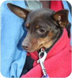 Miniature Pinscher Dog for adoption in Palatine, Illinois - Andy