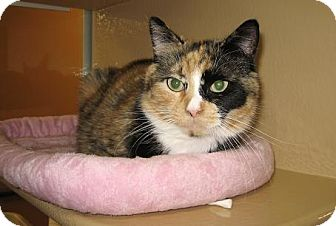 Calico Cat for adoption in North Haven, Connecticut - Yesenia