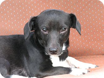 Dachshund/Rat Terrier Mix Dog for adoption in Indianapolis, Indiana - Tipper