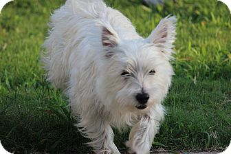Westie, West Highland White Terrier Dog for adoption in Oakville, Connecticut - Cane