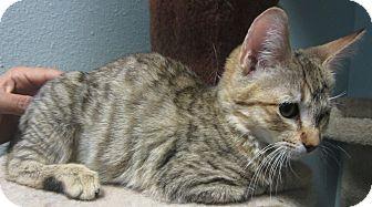 Domestic Shorthair Kitten for adoption in Westminster, California - Abby