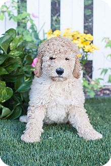 Labradoodle Mix Puppy for adoption in Auburn, California - Annabelle