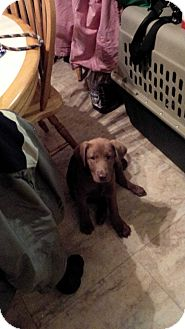 Labrador Retriever Mix Puppy for adoption in New Boston, New Hampshire - Snickers