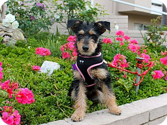 Schnauzer (Miniature)/Terrier (Unknown Type, Small) Mix Puppy for adoption in Los Angeles, California - Nellie