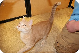 Domestic Shorthair Cat for adoption in Rochester, Minnesota - Copper