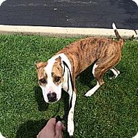 Adopt A Pet :: Brooklyn - Vernon Hills, IL