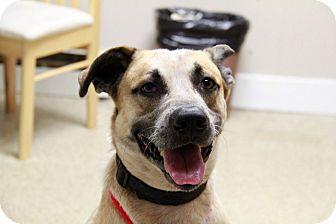 Australian Shepherd Mix Dog for adoption in Brookhaven, New York - Austin