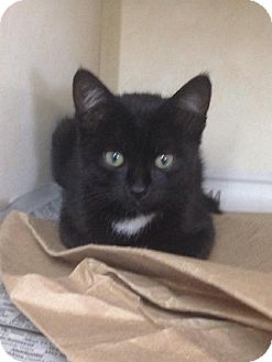 Domestic Shorthair Kitten for adoption in Tyner, North Carolina - Molly of Smokey and the Bandits
