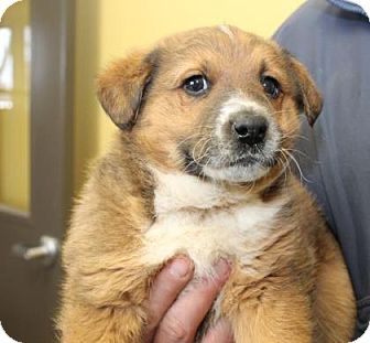 Shepherd (Unknown Type) Mix Puppy for adoption in Philadelphia, Pennsylvania - Rufus