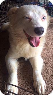 Eskimo Dog Mix Dog for adoption in East Hartford, Connecticut - Playgirl-pending adoption