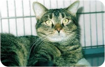 Domestic Shorthair Cat for adoption in Medway, Massachusetts - Hershey