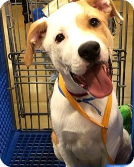 American Bulldog/Labrador Retriever Mix Puppy for adoption in Murfreesboro, Tennessee - Riley