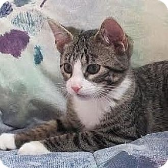 Domestic Shorthair Kitten for adoption in Columbia, Illinois - Quentin